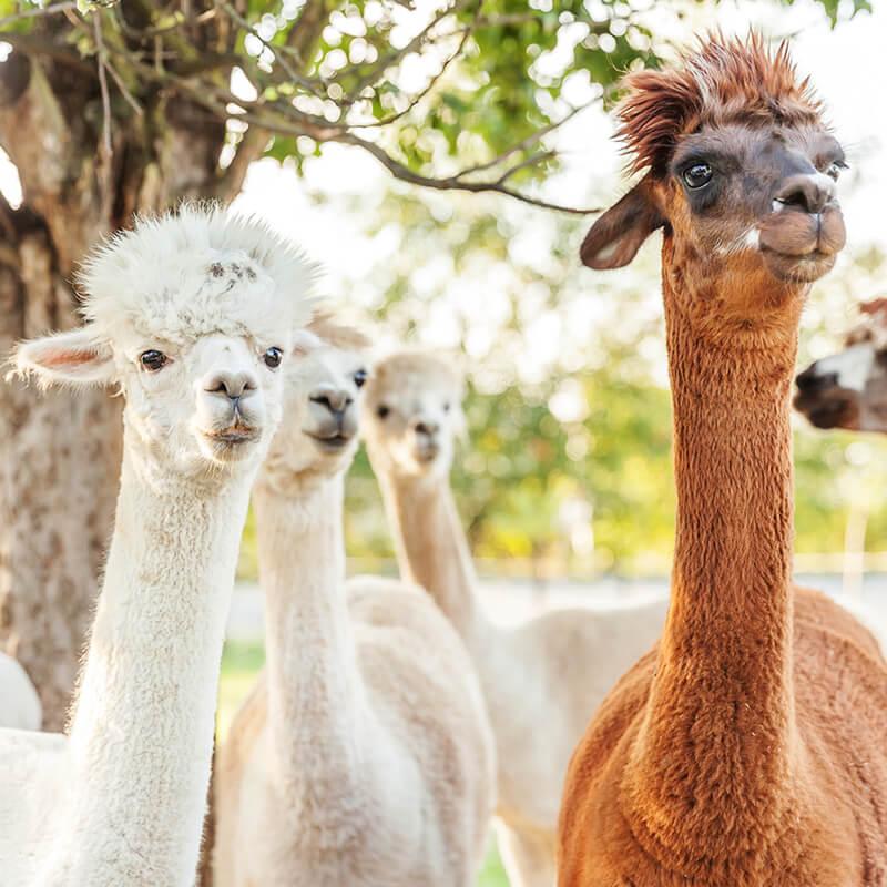 Alpaca wool farm